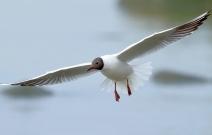 长了繁殖羽的红嘴鸥(视频)
