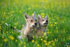 草原上的小狼