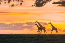 暮光中的长颈鹿一家