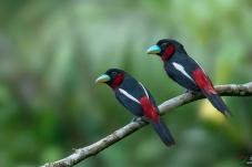 黑红阔嘴鸟