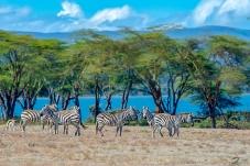 合欢树下十分警觉的斑马(肯尼亚)