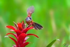 龙州鸟网年会作业:红顶鹛