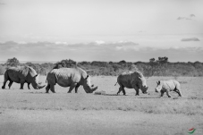 玩耍在草原上 — 白犀牛一家    !