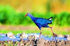 独步----紫水鸡