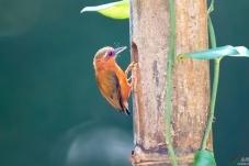 白眉棕啄木鸟