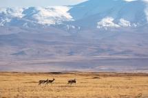 家园——藏原羚