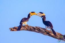 《相濡以沫》—— 冠斑犀鸟