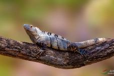 刺尾鬣蜥(哥斯达黎加)