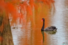 最美秋色池杉湖