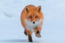 赤狐:猎物就是你!