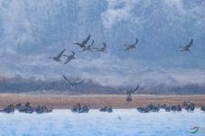 风雪中的鸿雁