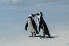 西蒙斯敦的小企鹅(祝贺荣获首页视频精华)