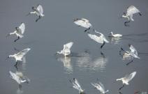 琵琶鹭正在迁徙路上