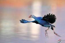 云南大理州洱源西湖野拍紫水鸡