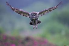 腾飞的乌林鸮