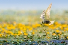 勤劳的灰翅浮鸥