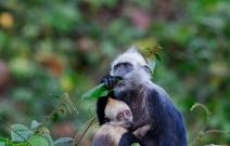 母与子--白头叶猴