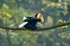 花冠皱盔犀鸟