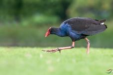 澳洲紫水鸡