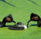 天福:给全国的鸟友拜年!