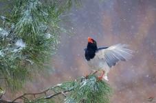 飞雪迎春——红嘴蓝鹊