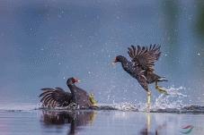 南湖的黑水鸡