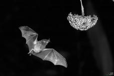 问好黑白影像版的老师们!---食蜜蝙蝠
