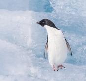 肥肥:南极冰川上的阿德利企鹅