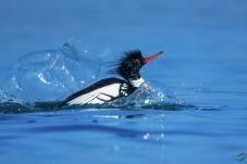 《滑水》------红胸秋沙鸭