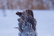 尾巴都翘上天了——乌林鸮