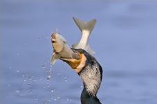 鸬鹚戏鱼(二)