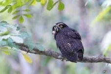 回眸的眼睛鸮