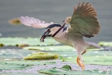 抓黄鳝的夜鹭
