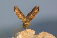 启航——纵纹腹小鸮