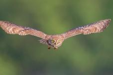 正面出击——纵纹腹小鸮