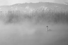 孤独的天鹅