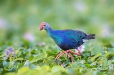 漫步--紫水鸡