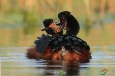 黑颈䴙䴘的爱情。(祝贺老