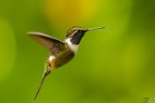 厄瓜多尔《刺尾蜂鸟》