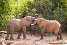 非洲象(祝贺老师佳作荣获首页动物精华)
