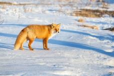 赤狐  — 问好师友   !