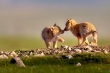 藏狐(兄弟情)