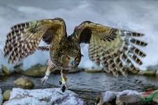 夜里出动的长毛鱼鸮(祝贺荣获首页鸟类精华