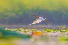 晨光中的池鹭