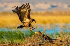 新疆玉带海雕——飞身上桩