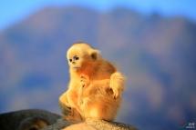 享受阳光的金丝猴