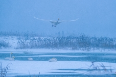 《顶风冒雪》------大天鹅