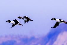 鹊鸭已过万重山