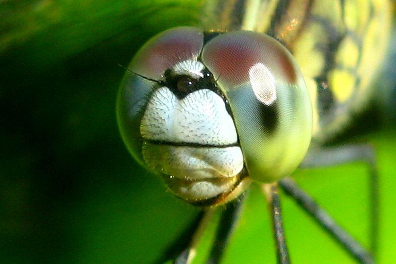 蜻蜓的头部 - 昆虫两爬