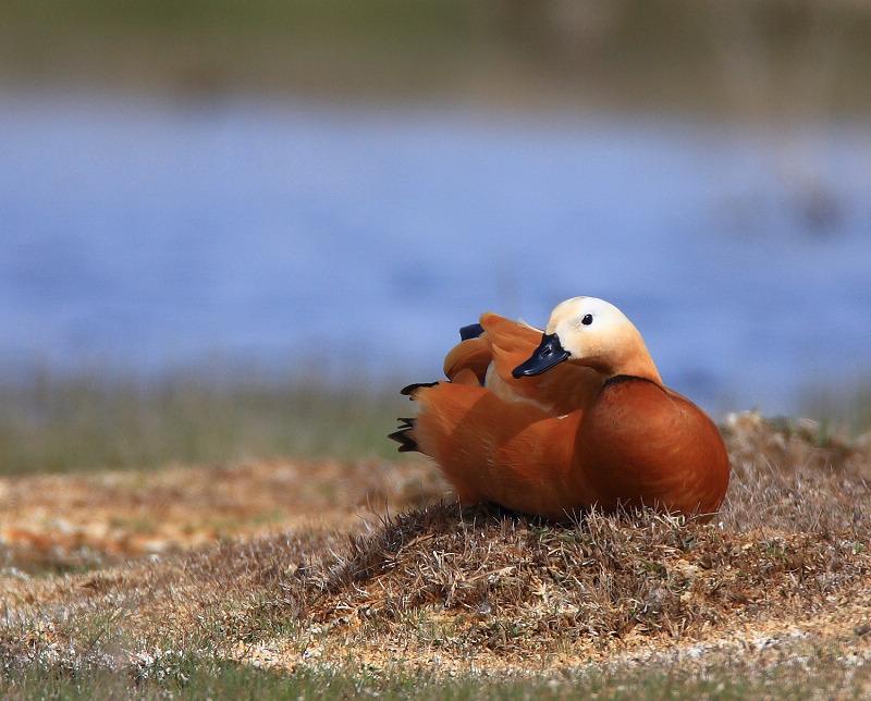 《中国新疆野生动物》鸟类图片征集帖1